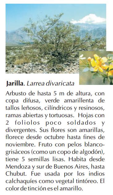 jarilla_divaricata