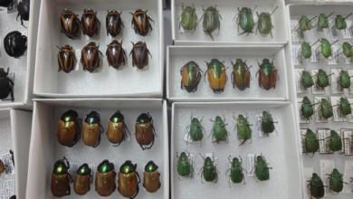 capacita_escarabajos